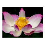 Lotus Flower Photography Great Yoga Om Gift! Postcard