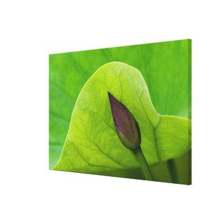 Lotus Leaf and Bud | North Carolina Canvas Print
