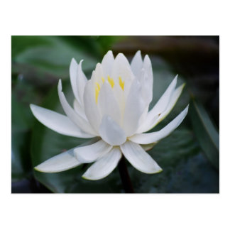 Lotus or waterlily and meaning postcard