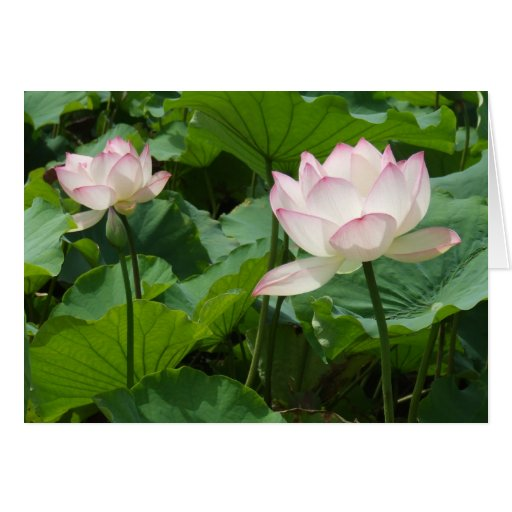 Lotuses Cards
