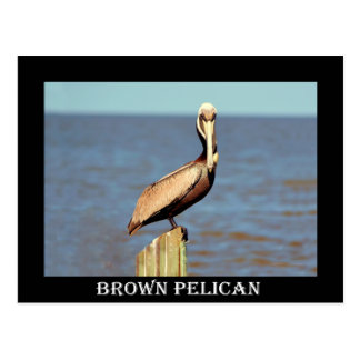 Louisiana Brown Pelican 4.jpg Postcard
