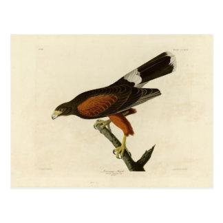 Louisiana Hawk Postcard