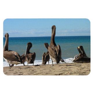 Lounging Beach Pelicans; No Text Rectangular Photo Magnet
