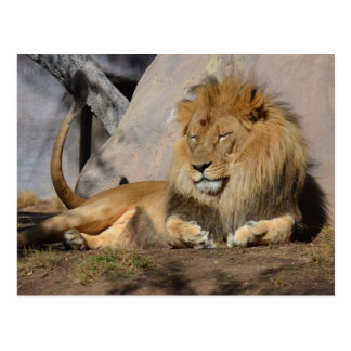 Lounging Lion Postcard
