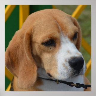 Lovable Beagle Poster