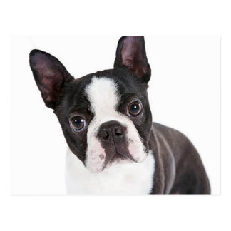 Love  Boston Terrier Puppy Dog Postcard
