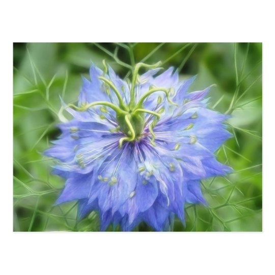 Love In A Mist - Nigella Damascena Postcard
