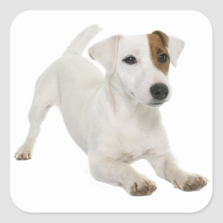 Love Jack Russell Terrier Puppy Dog White Brown Square Sticker