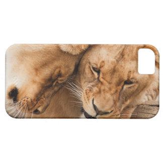 Love Lions cuddling animals wildlife nature photo iPhone 5 Cases