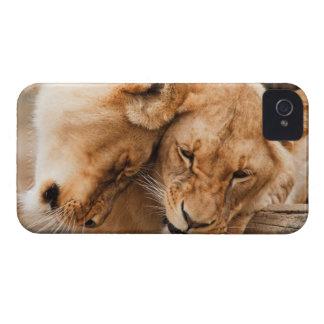 Love Lions cuddling animals wildlife nature photo iPhone 4 Covers