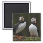 Love Song Puffins Square Magnet