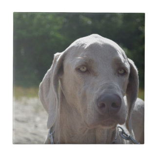 Loveable Weimaraner Small Square Tile