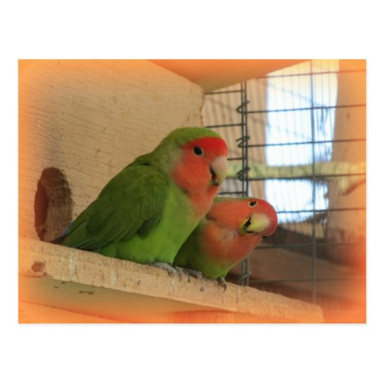 Lovebirds Postcard