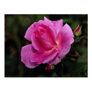 Lovely Carefree Beauty Shrub Rose Bucbi Post Cards