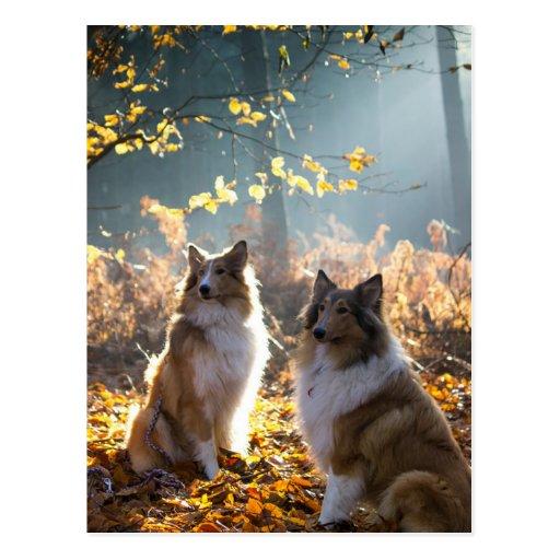 Lovely Collie Dog Postcards