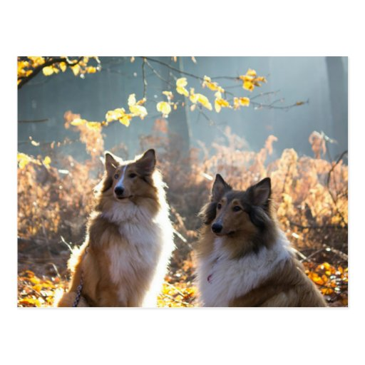 Lovely Collie Dog Post Card