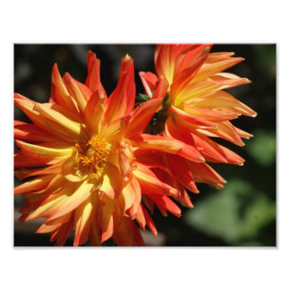 Lovely Dalias 11 x 8.5 Photographic Print