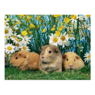 Lovely Hamsters 35 Postcard