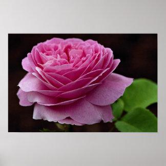 Lovely Hybrid Tea Rose Heirloom Print
