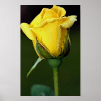 Lovely Hybrid Tea Rose Oregold Posters