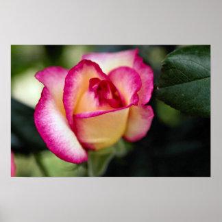 Lovely Hybrid Tea Rose Print