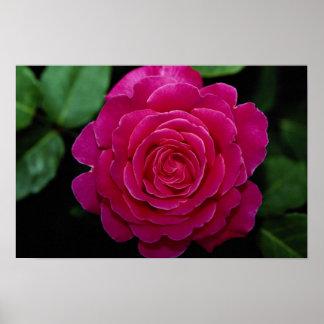 Lovely Hybrid Tea Rose Tiffany leaves Print