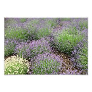 Lovely Lavender Photo Print