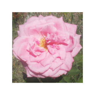lovely pink rose canvas print