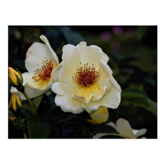 Lovely Shrub Rose 'Golden Wings' Post Card
