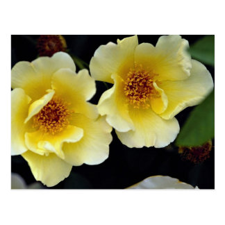 Lovely Shrub Rose 'Golden Wings' Post Cards