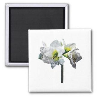 Lovely White Amaryllis Square Magnet