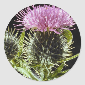 LovelySpear thistle, cirsium vulgare Classic Round Sticker