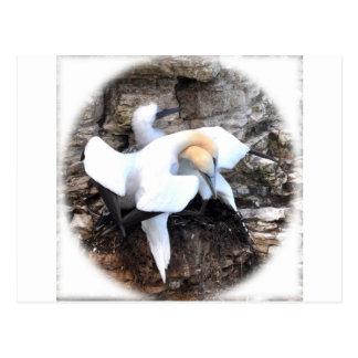 Loving Gannets Postcard