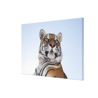 Low angle view of a Tiger (Panthera tigris) with Canvas Print
