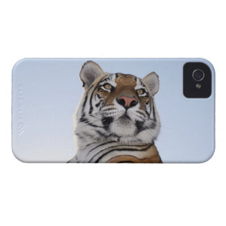 Low angle view of a Tiger (Panthera tigris) with Case-Mate iPhone 4 Cases