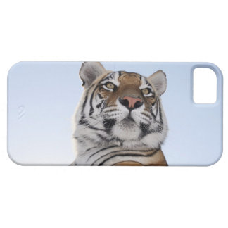 Low angle view of a Tiger (Panthera tigris) with iPhone 5 Case