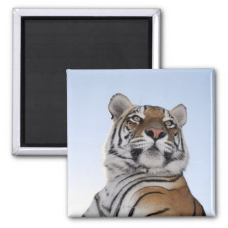 Low angle view of a Tiger (Panthera tigris) with Fridge Magnet