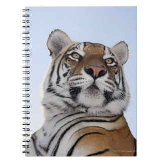 Low angle view of a Tiger (Panthera tigris) with Notebook