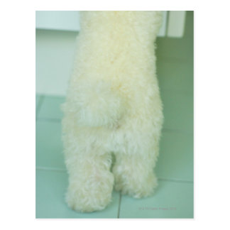 Low section view of a miniature poodle postcard
