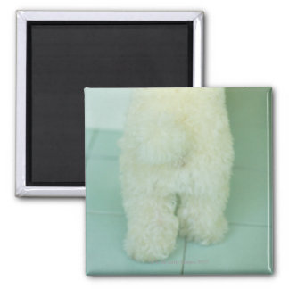 Low section view of a miniature poodle square magnet
