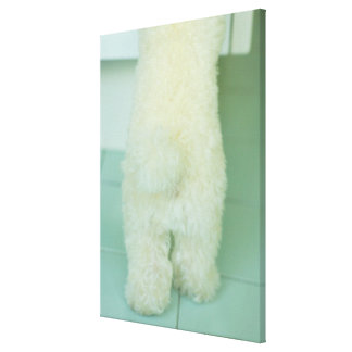 Low section view of a miniature poodle stretched canvas print