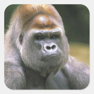Lowland gorilla. Gorilla Gorilla. Square Sticker