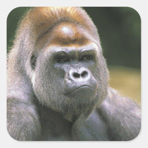 Lowland gorilla. Gorilla Gorilla. Stickers