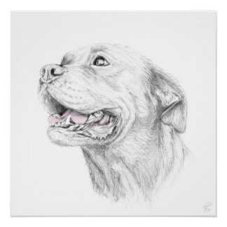 Loyalty, An American Staffordshire Terrier
