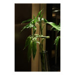 Lucky Bamboo Posters
