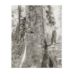 Lumberjacks with Giant Fir, 1905 Stretched Canvas Print