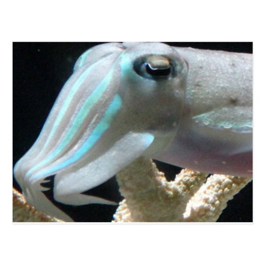 Luminous Cuttlefish Postcard