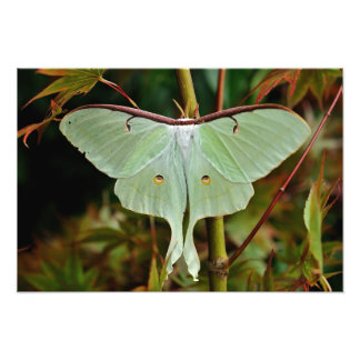 Luna Moth 19x16 large Print Photograph