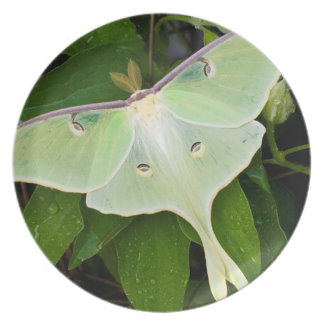 Luna Moth on Carnaby Clematis Dinner Plate