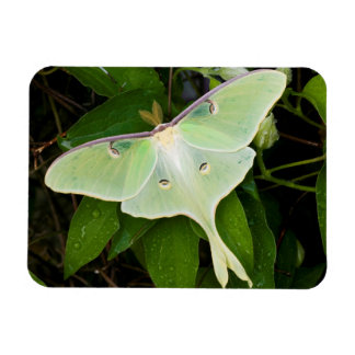 Luna Moth on Carnaby Clematis Magnet